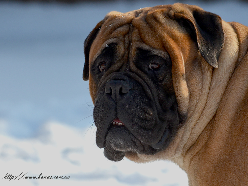 BULLMASTIFF GOLD BONUS