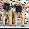 bullmastiff pippies